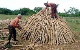 Carbone di Marabu',primo prodotto di esportazione cubana in Usa  F0008293